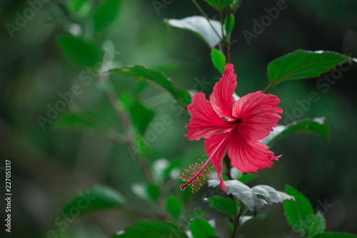 Beautiful Hibiscus Flowers Together Hanging From The Plant In The