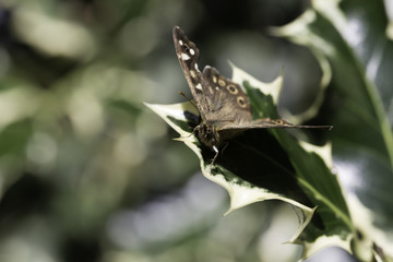 Brown butterfly on holly leaf
