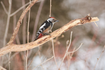 Middle spotted woodpecker sits on an oak branch in a clearing in a forest park (watercolor background).