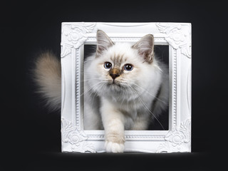 Beautiful tabby point Sacred Birman cat kitten stepping with white paw through a white picture frame looking to the side, isolated on black background
