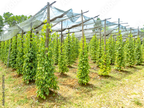 Plantation of black pepper on Phu Quoc Island in Vietnam