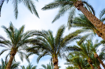 several palm trees are shot from below against a blue sky with clouds in the afternoon