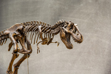 Fossil skeleton of Dinosaur king Tyrannosaurus Rex ( t-rex ) on blackboard background retro vintage style and copy space.