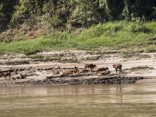 Rocks and cattle at the bank of Mekong