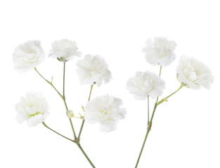 Blossoming twigs of Gypsophila isolated on white background.