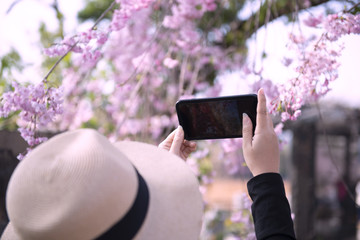 Woman is taking photograph by smartphone during Spring Cherry blossom in Tokyo, Japan.