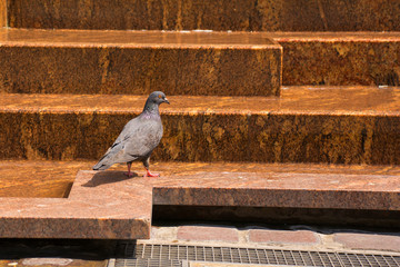 A pigeon on a stepped water feature in the historic Rynek Maly square in old town Krakow