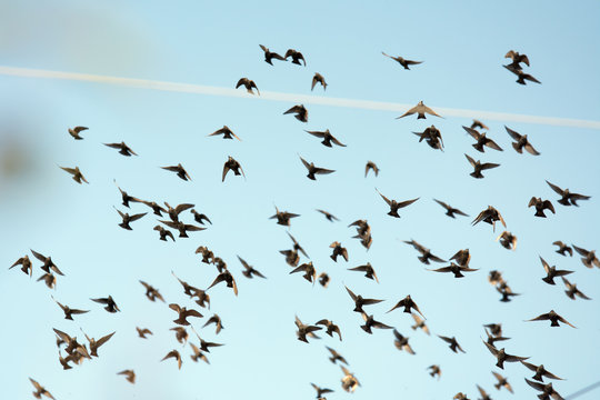 Numerous flock of starlings flying in the air
