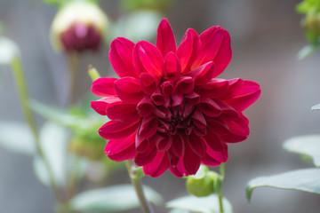 Beautiful red dahlia flower