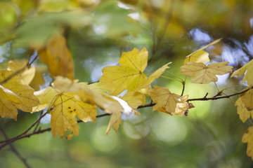 Yellow maple leaves, autumnal natural background, selective focus