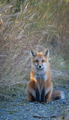 Grey fox with red coat and black feet sits up right