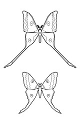 Comet moth vector isolated on white. Male and female. Set of icon