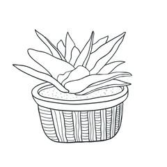 Succulent houseplant Illustration. Vector line art. Adult coloring book page.