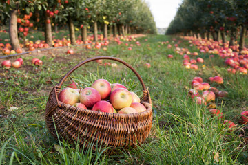 Wicker basket with ripe red and yellow apples on the grass in an orchard - with rows of apple trees and windfall of apples
