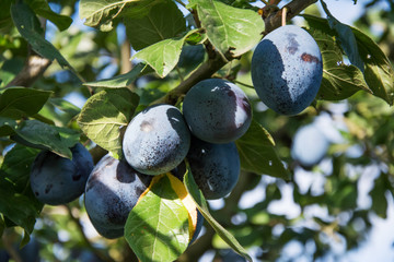 Closeup of a cluster of ripe blue common plums growing on a branch of a plum tree