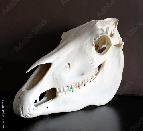 Horse Skull Photo Horse Teeth Photo 1 Stock Photo And Royalty