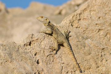 Agama lizard Stellagama stellio displaying on rock