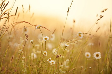 nice weather: summer meadow at sunrise