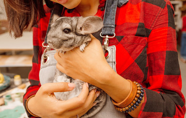 Little chinchilla on the woman hands