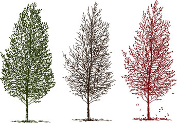 Sketches of birch tree in different seasons