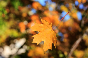 falling in the forest autumn leaf / bright autumn photo nature gives new colors