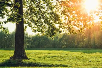 Beautiful oak tree with the sun in the foliage