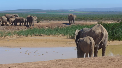 Elefants at a water hole in the wilderness of Africa