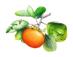 Watercolor illustration of the persimmon tree branch with fruits and leaves
