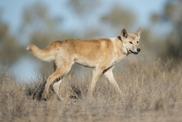 Australian dingo in desert country in outback Queensland, Australia.