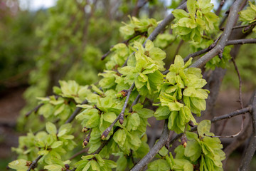 Close up of the lime green blossoms of the weeping elm tree