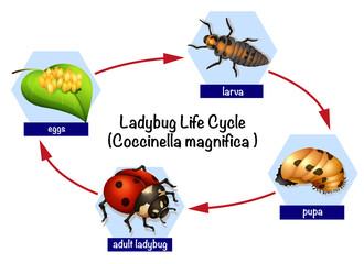 A ladybug life cycle