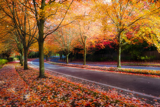 Maple Trees Lined Street during Fall Season