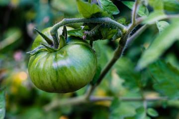 Fresh green tomatoes growing fresh on the vine