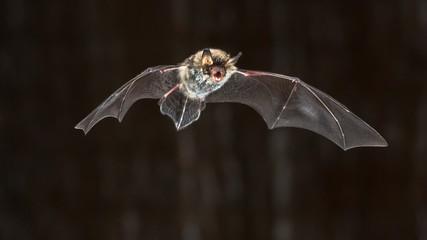 Flying Natterers bat at night