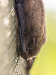 Nathusius pipistrelle bat resting on tree