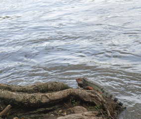 Iguana resting by the river