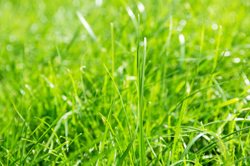 lawn background. fresh green grass in garden. vividly bright green carpet outdoor. decorative plant for landscaping,  playing, parks and leisure sports
