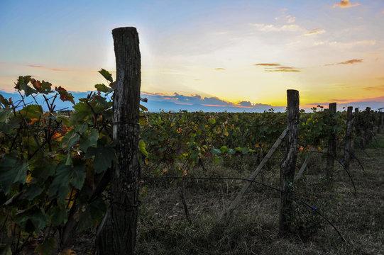Rows of vines at sunset near Kazbegi, Georgia