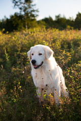 Portrait of Big white fluffy dog breed maremmano abruzzese shepherd sitting in the field at sunset