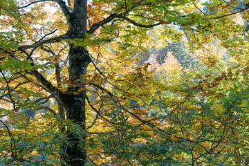 Wall Mural - forest in autumn colors with fall foliage landscape background