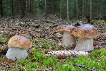 Three amazing cep mushrooms in spruce forest