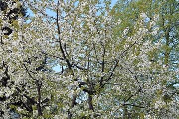 Blüte Kirsch-Mirabelle