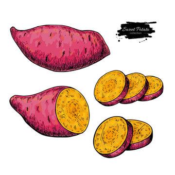 Sweet potato hand drawn vector illustration. Isolated Vegetable