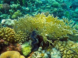 coral reef with giant clam - Tridacna gigas on the bottom of tropical sea