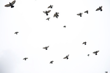 Wall Mural - A flock of pigeons flies across the sky. Birds fly against the s