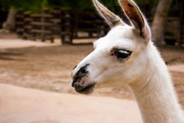 Portrait of a white llama, Lama glama