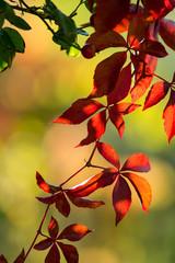leuchtender Herbst im wilden Wein