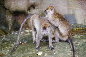 Wild Macaques in the island of Borneo; Malaysia