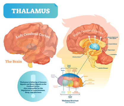 Thalamus vector illustration. Labeled medical diagram with brain structure.