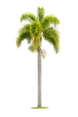 Tree palm isolated on a white background with clipping path.
